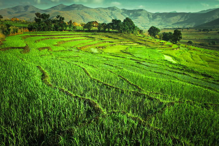 Rice field in Madagascar